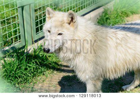 Predator White Fluffy Wolf