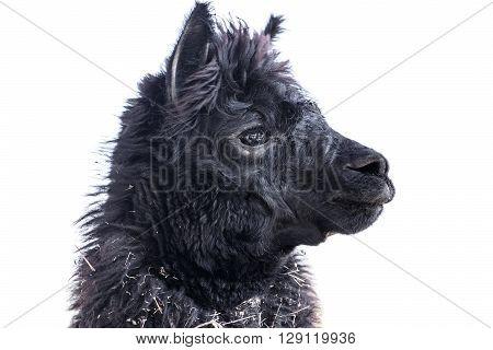 Lama Alpaca Animal