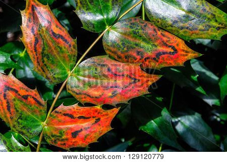 Close up of shiny English holly leaves with distinctive green and red colouring against a background of green holly