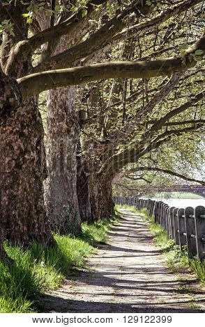 Alley of sycamore tree and retro railing. Footpath scene. Park scene. Romantic place. Vertical composition. Massive trees.
