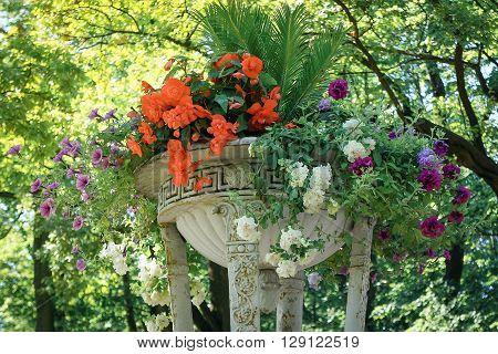 Colorful geranium in vintage pot. Summer garden