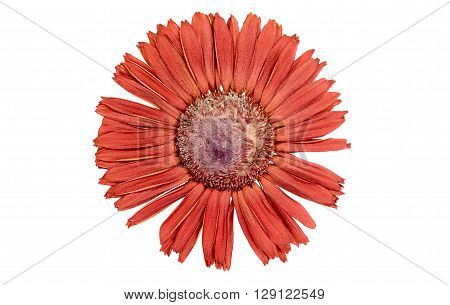 Her-barium of red Gerber flower on a white background