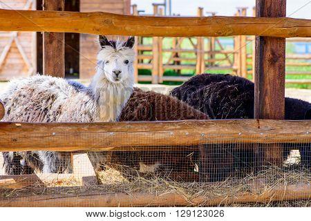 Lama Alpaca Animals