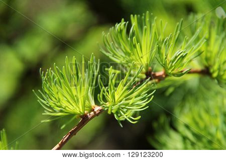 close photo of a twig of a larch with fresh green needles in spring