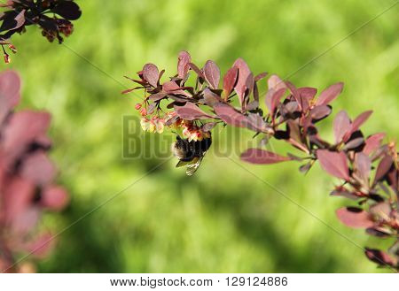 close photo of a bumblebee on the twig of rose glow with purple leaves and small yellow blooms