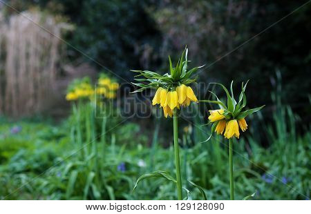 Tall Yellow Fritillaria Imperialis In The Park