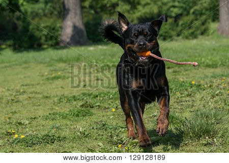 Running Rottweiler outside in the park. Selective focus