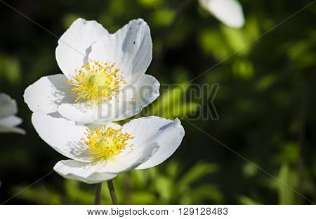 inflorescence of white flowers in the flowerbed nature plant