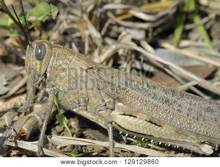Egyptian Grasshopper - Anacridium aegyptium Closeup showing Striped Eye