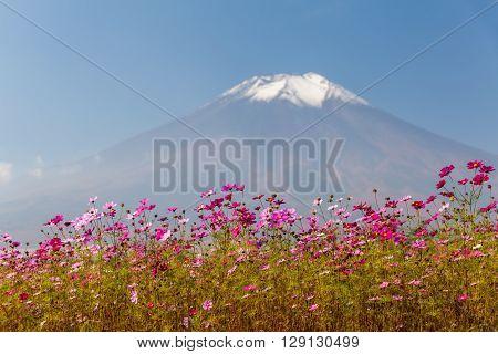 Field of cosmos flowers and Mountain Fuji in autumn season at Yamanakako Hanano Miyako Koen