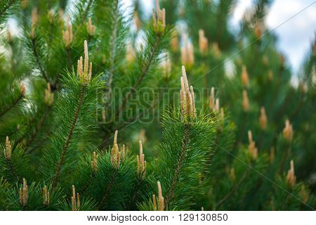 Pine Tree With Shoots Photographed At Springtime