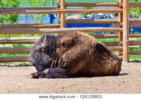 American Bison Animal