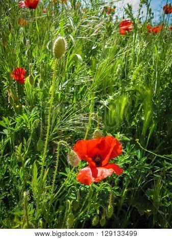 Spring poppies in Castilla la Mancha, Spain