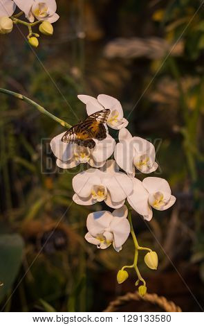 Image of a butterfly sitting on a white orchid flowers
