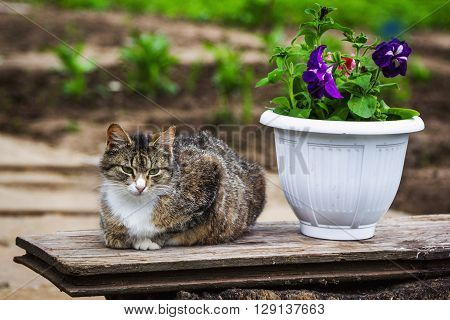 Sleepy brown cat relaxing on a wooden shelf near white pod with petunia in the garden