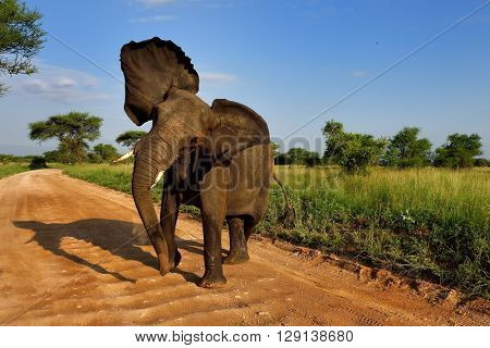 African Elephant (Loxodonta Africana) in natural park