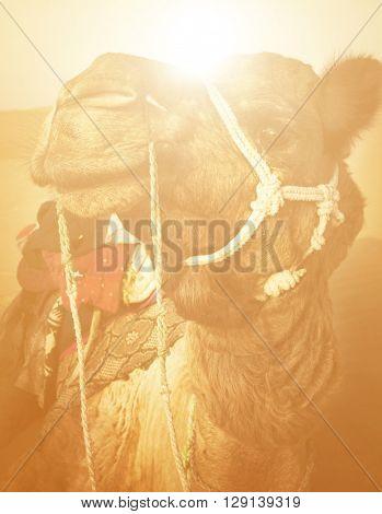 Camel in the Thar Desert Concept