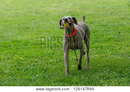 Close-up view of Weimaraner Dog outside in the park