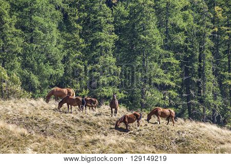 Several free brown horses grazing on a high mountain pasture.