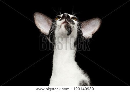 Closeup Portrait of Green Eyed Oriental Kitten With Big Ears Looking up on Black Isolated Background