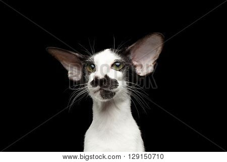 Closeup Portrait of Green Eyed White Oriental Kitten With Big Ears Looking at camera on Black Isolated Background