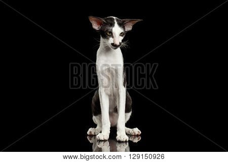 Green Eyed White Oriental Cat With Big Ears Sitting on Black Isolated Background
