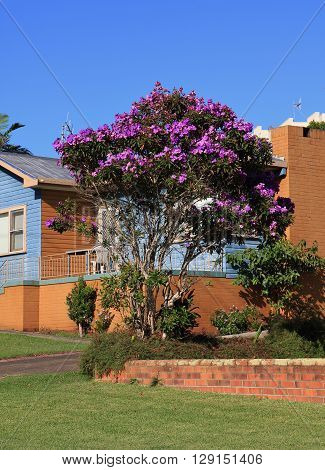 Colorful tree growing in Australia. Tibouchina also named Glory Flower.