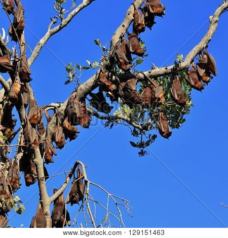 Fruit bats also named flying foxes. Wild animals living in Australia.