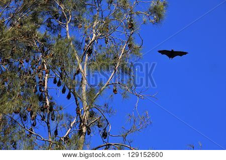 Fruit bats hanging in a tree. Wild animals living in Australia.
