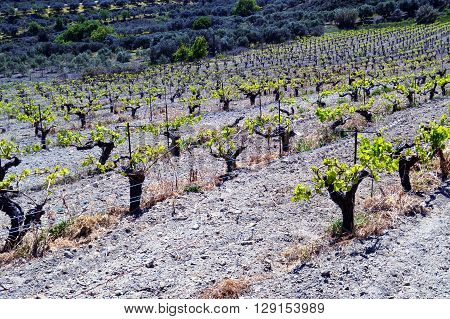 Vineyards in flowers in the Cretan campaign in Greece.