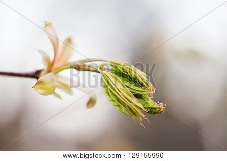 Horse chestnut bud bursting into leaves. Castania tree branch macro view. Shallow depth of field