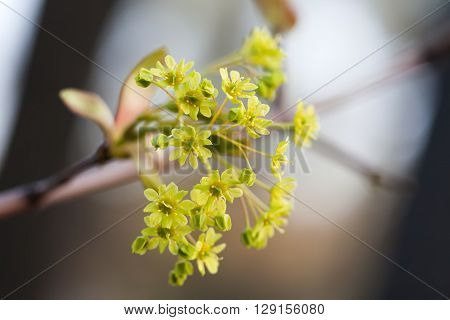 Blooming maple. Tree branch with yellow flowers. soft focus. Spring nature landscape