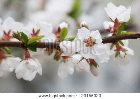 Nanking cherry, Prunus tomentosa. deciduous shrub macro view. Flower buds macro view.