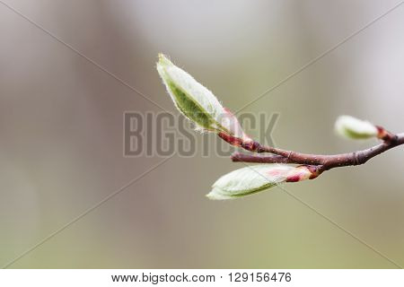 New life concept. Spring background with bud, embryonic shoot. fresh wooly leaves macro view. Dark red branch, gray abstract background. macro view