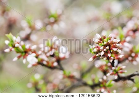Springtime garden landscape with chinese cherry shrub. White and pink flower buds close-up. Prunus tomentosa plant.