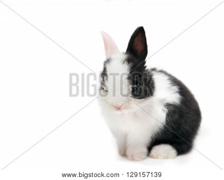 rabbit sitting isolated on white background cute black and white bunny