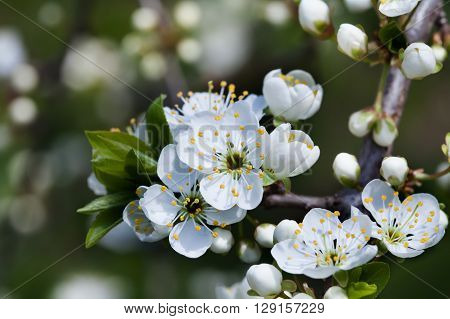 Apple flowers macro view. Blooming fruit tree. pistil, stamen, petal detailed image. Spring nature landscape.