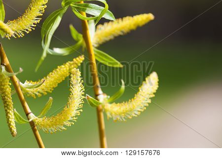 Willow branch macro view. Blooming osier, sallow, salix tree macro view. Easter greeting card template.