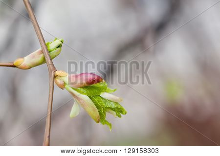 Budding linden tree branch. Macro view bud, embryonic shoot with fresh green leaf. soft abstract background. spring time, life, beginning concept.
