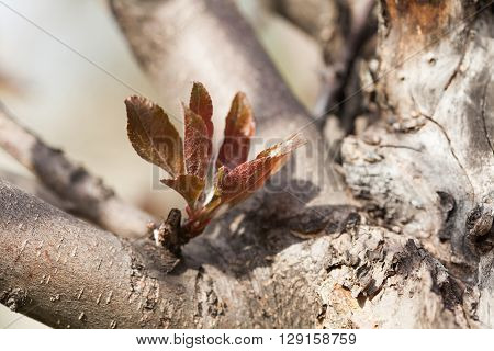 Apple tree with young shoot and red leaves. Spring garden scene with fruit tree trunk.