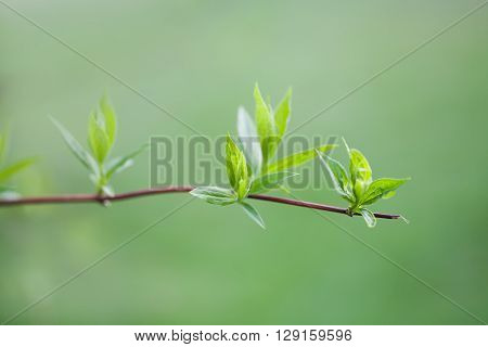 Twig with green leaves. spring park scene. growth concept image. soft background. macro view