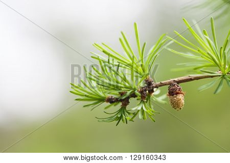Evergreen spruce branch with bud, young fir-cone. Spring nature concept. macro view