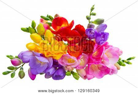 Heap of fresh yellow, red, pink and blue freesia flowers isolated on white background