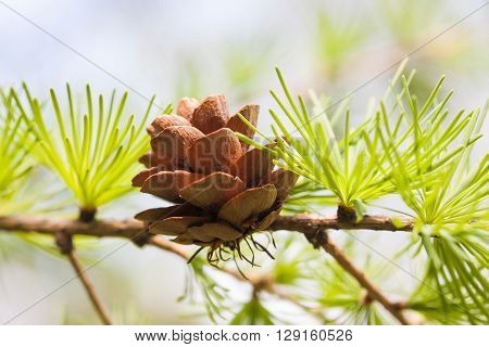 Conifer cone, fir tree branch macro view. Forest nature landscape, sunny day weather