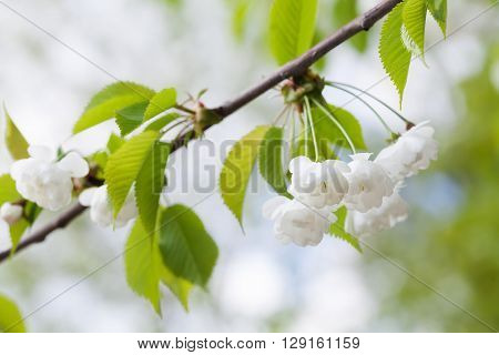 Blooming plumleaf crab apple, chinese apple branch. Malus prunifolia ornamental tree with white flowers.