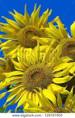 Sunflower, Sunflower facing the sun. Bright yellow sunflower.