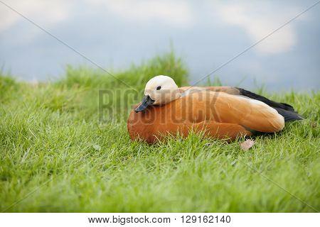 Ruddy Shelduck. Red duck, green grass and river background. soft focus