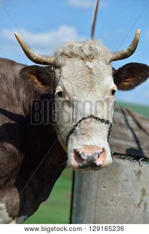 Head Of A Cow With Metal Chain On His Nose, Preparing To Drink Water Neer A Fountain At A Farm. Heal
