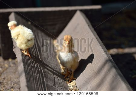 Two Cure Yellow And Brown Little Chicken On A Farm, Standing On Wood At The Sun. Newly Hatched Chick