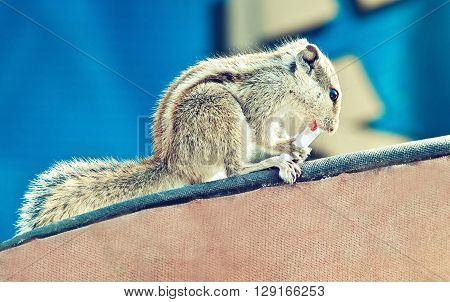 Funny Chipmunk eating human food .Indian palm squirrel . The world of animals .